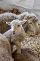 curious beautiful not shorn sheep with