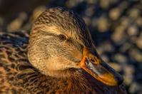 Lonley duck