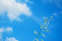 wild oats under a blue sky