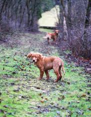 Golden Retrievers on a Path