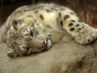Snow leopard relaxing