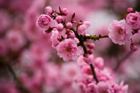 Pink Almond Tree Blossom