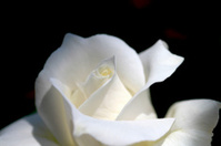 close up white rose with black background