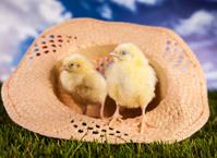 Easter, eggs, nestling, chicken,