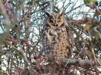 Long-eared Owl Yawning
