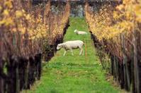 Sheep and vineyard