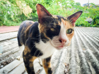 Thai colorful cat on the roof