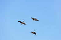 geese flying in v format with a blue sky