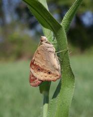 Buckeye Butterfly on Grass