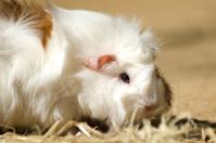 Guinea Pig, Cavia porcellus