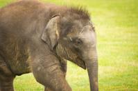 Baby Indian Elephant