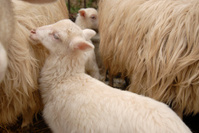 Lamb/Sheep