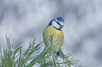 Blue tit on a pine twig