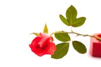 Rose on white background.
