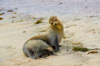 sea lion in san cristobal galapagos islands