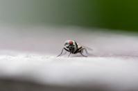 Tiny White Fly