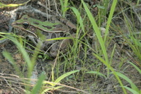Camouflaged Leopard Frog