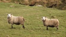 sheeps twins