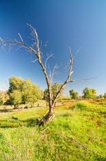 Naked tree in field of wild Anemone flowers, Israel