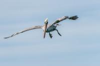 Brown Pelican Preparing to Dive near Naples, Florida