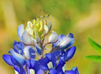 Tiny Nymph Katydid on a Bluebonnet Flower