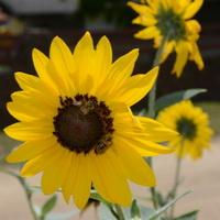 Beautiful sunflower with bee