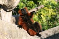 red ruffled lemur