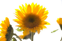 Sunflowers in the Sunshine