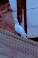 White Dove, Columba livia