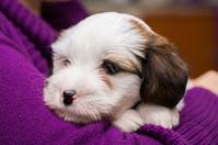Cute Tibetan Terrier puppy....8 weeks old