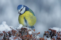 Blue tit in wintertime
