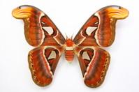 Attacus atlas....Beautiful butterfly