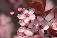Close to cherry blossoms