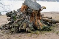 Tree stump on a shore