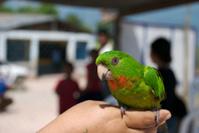 Parrot Of Honduras