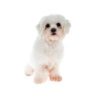 Maltese Dog isolated on white