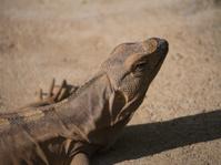 Iguana taking sun