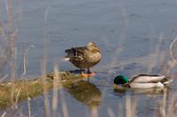 Duck Family - Pregnant Female