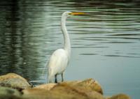 Great Egret along the Sacramento River