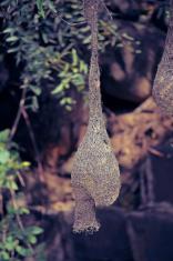 Baya Weaver Bird, Ploceus Philippinus Nest, India