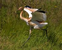Juvenile whooping crane running
