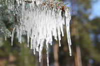 Branches of blue spruce in icicles