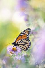 Monarch butterfly feeding on aster flower in the field