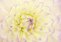 Dahlia flower.. Canfield Fair, Youngstown, Ohio, USA.