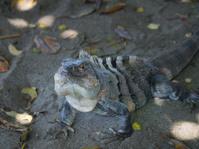Iguana on ground