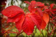Vivid red autumn leaves