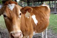 cow in a farm