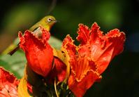 Hawaii bird dipping in flowers