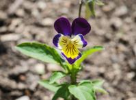 Purple and yellow viola flower