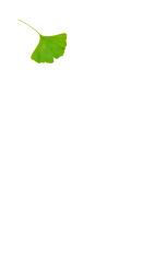 Stationery ginkgo leaf
